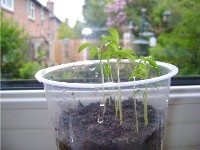 Herb seeds growing in yoghurt pots