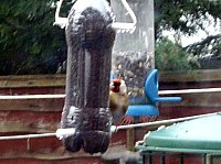 pop bottle bird feeder goldfinch